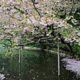 池田家前 山桜